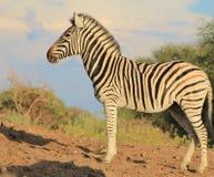 Afrikanische wild lebende Tiere - Zebra, Stute, die morgen untersucht Stockfotos