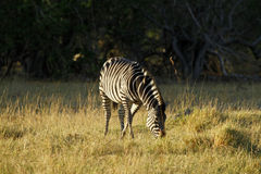 Burchells zebra grazing Stock Images
