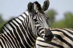 Burchells zebra Head Study. Burchells zebra herd, plains game, in Botswana,Africa for the big cats Stock Photography