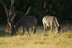 Burchells zebra herd grazing. Burchells zebra herd, plains game, in Botswana,Africa for the big cats Stock Images