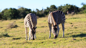 Burchells Zebra. Image Shot at Addo Elephant National Park stock images