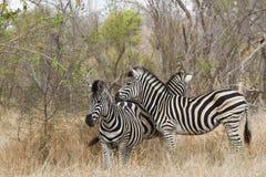 Burchell's zebra in Kruger National park Stock Image