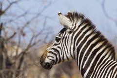 Burchell's zebra in Kruger National park Stock Images