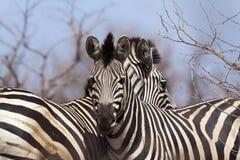 Burchell's zebra in Kruger National park Stock Photo