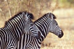 Burchell's zebra in Kruger National park Royalty Free Stock Image