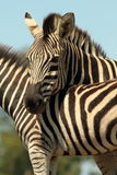 Burchells Zebra portrait Royalty Free Stock Photography