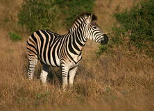 Burchells zebra portrait Stock Photos