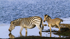 Burchell's zebra in the riverbank in Kruger National park Stock Photography