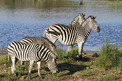 Burchell's zebra in the riverbank in Kruger National park Stock Images