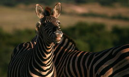 Burchells zebra smiling and showing his teeth Royalty Free Stock Photos