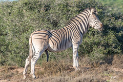 Burchells zebra stallion with genitals visible Stock Image
