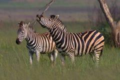Burchells Zebra standing. Two Burchells Zebra standing in short green grass Stock Image