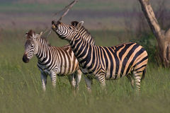 Burchells Zebra standing Stock Image