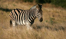 Burchells zebra walking through long grass Stock Photo
