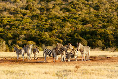Burchells Zebra at the watering hole. Royalty Free Stock Photo