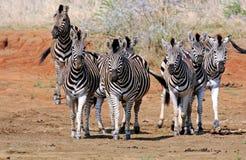Burchells zebra Stock Photography
