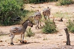 Burchells zebra Stock Photo