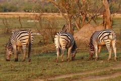 Burchells zebra Zamknięta obok Zdjęcie Royalty Free