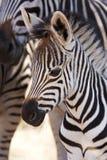 Burchells Zebrafohlen mit Mutter Lizenzfreie Stockfotografie