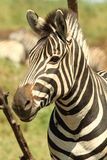 Burchells Zebraportrait Stockfoto