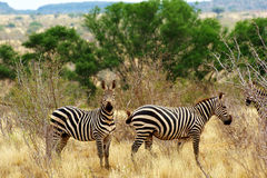 Burchells Zebras Royalty Free Stock Images