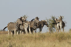 Burchells Zebras Stock Photo