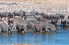 Burchells zebras and blue wildebeest drinking water in a waterhole