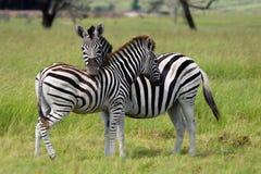 Burchells Zebras in der Liebe Lizenzfreie Stockfotografie
