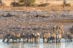 Burchells Zebras drinking water in Northern Namibia at sunset Royalty Free Stock Images
