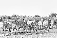 Burchells Zebras and Hartmann Mountain Zebras. Monochrome royalty free stock photo