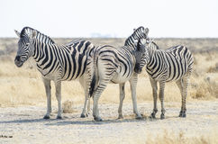 Burchell's zebras in the savanna Royalty Free Stock Image