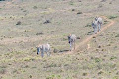 Burchells zebras walking in a row Royalty Free Stock Photos