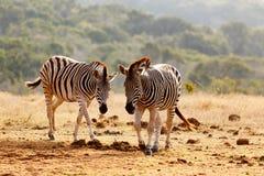 Burchells Zebras walking together Royalty Free Stock Photo