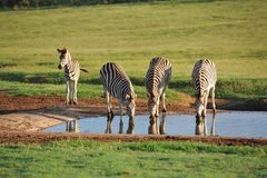 Burchells zebras at waterhole early morning Stock Photo
