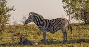 Burchells Zebrastute und -fohlen im afrikanischen Busch lizenzfreie stockfotos