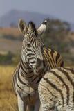 Burchels Zebra Stock Photography