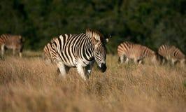 Burchelss斑马牧群  库存图片