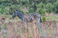 Burchelszebra in het Nationale park van Pilanesberg royalty-vrije stock afbeeldingen