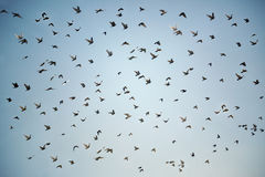 burd migracja Zdjęcie Stock
