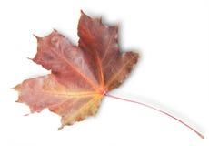 Burdeos Autumn Maple Leaf Fotografía de archivo libre de regalías