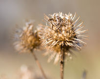 burdock θάμνος ξηρός Στοκ φωτογραφία με δικαίωμα ελεύθερης χρήσης