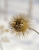 burdock ξηρός - καρπός Στοκ εικόνα με δικαίωμα ελεύθερης χρήσης