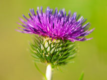 Burdock Royalty Free Stock Photography
