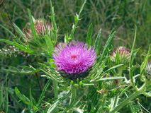 burdock Stockbild