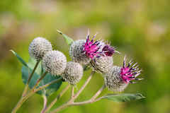 Burdock Arctium lappa, blooming violet flowers. soft background, macro view Stock Images