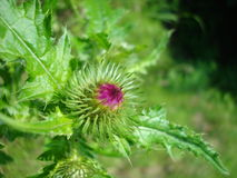 Burdock Arctium lappa Stock Photo