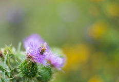Burdock  - Arctium lappa -  and honey bee. Close-up view to blooming burdocks Arctium lappa on green blur background and honey bee Royalty Free Stock Image