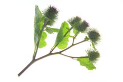 Burdock (Arctium lappa) Stock Photos