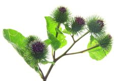 Burdock (Arctium lappa) Royalty Free Stock Photo