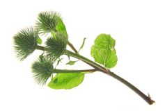 Burdock (Arctium lappa) Stock Images